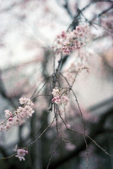桜2013-06e