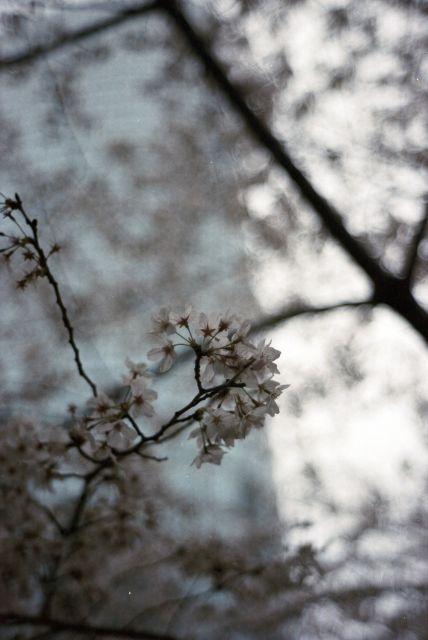 桜2013-06d