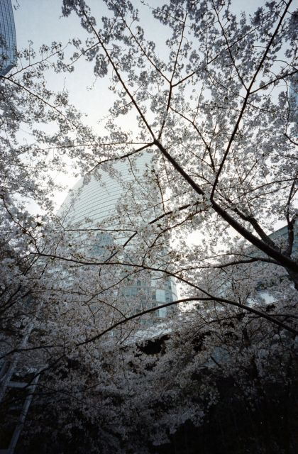 桜2013-06b