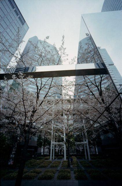 桜2013-06a