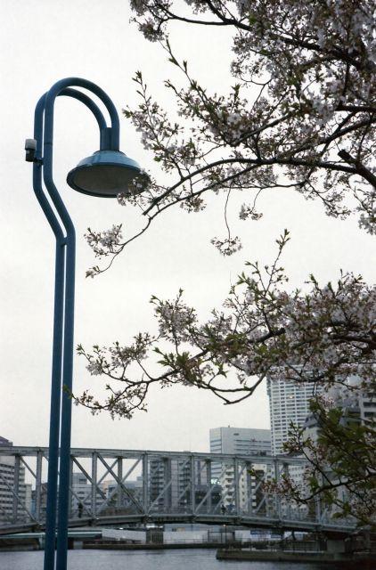 桜2013-07f