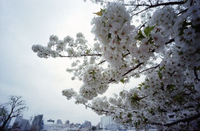 桜2013-07c