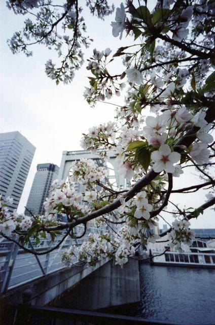 桜2013-07d