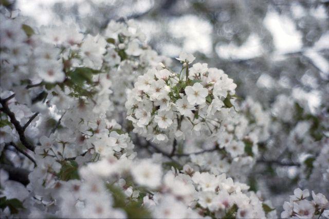 桜2013-07b