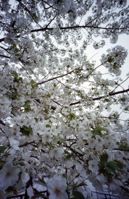 桜2013-07a