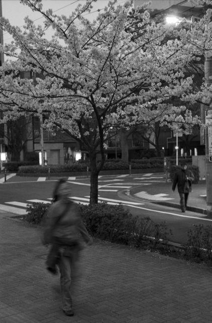 桜2013-08c