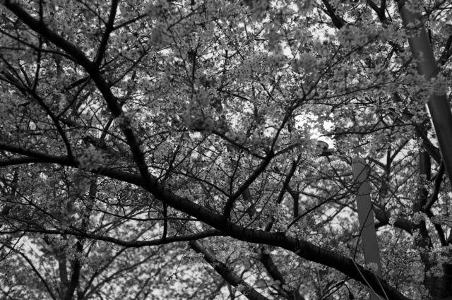 桜2013-08b