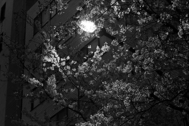 桜2013-09d