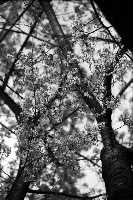 桜2013-09b
