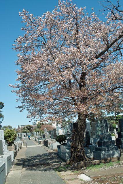桜2013-10f
