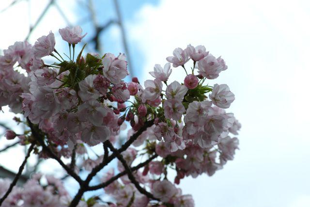 桜2013-10b