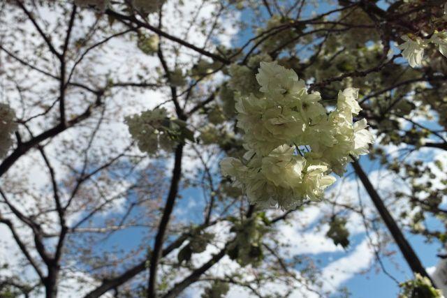 桜2013-10d