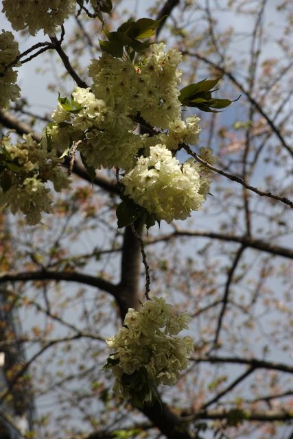 桜2013-10c