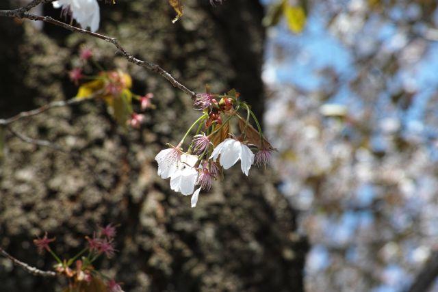 桜2013-10a
