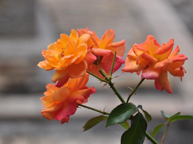 オレンジ色のバラ