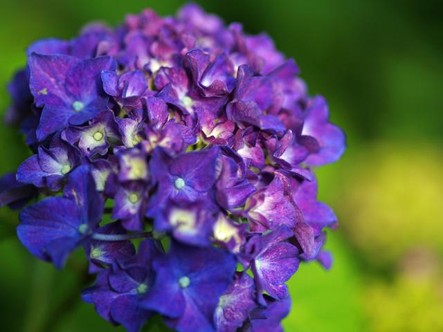 紫陽花屋敷04