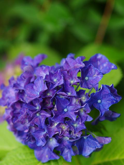 紫陽花屋敷06