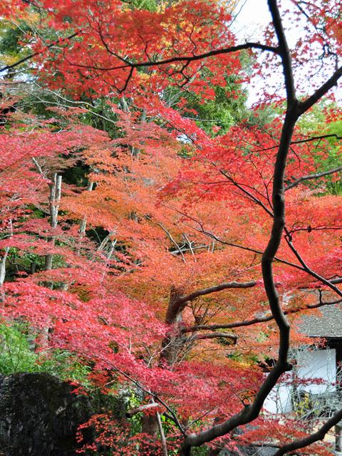 石山寺モミジ