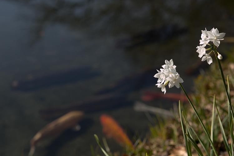 白鳥庭園-2