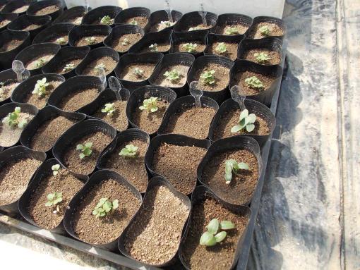 20120428_自家用野菜発芽