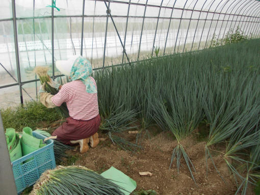 20120703_7番青ネギ収穫開始