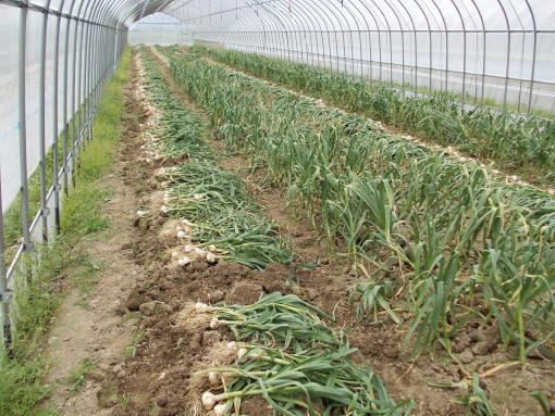20120620_ニンニク収穫