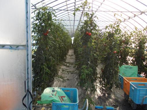 20120926_1番ハウストマト