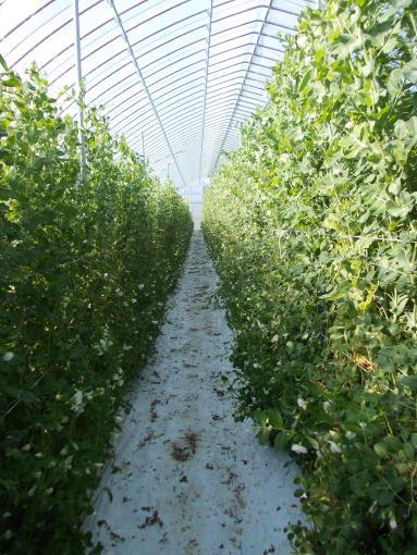 20121027_収穫終了前日のキヌサヤ