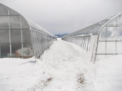 20121208_除雪後の4番ハウス