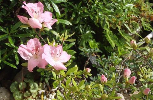 庭の山野草 5.1 001-001
