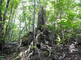 オキナワウラジロカシの樹