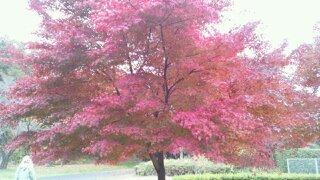 尾根緑道のもみじの紅葉