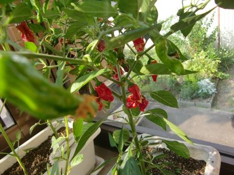 シシトウガラシ(獅子唐辛子)はナス科のトウガラシの甘味種