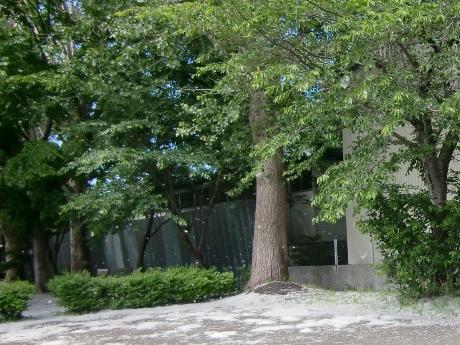ヤナギ科の植物が開花後に綿毛のついた種を飛ばす「柳絮りゅうじょ」と呼ばれる現象。