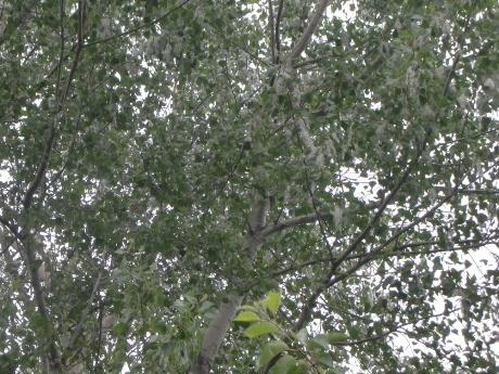 ポプラの学名Populusには震えるという意味があり、ポプラの葉が僅かな風でもサラサラとそよぐことから付けられたといわています。