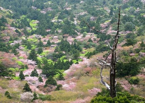 太鼓岩からのヤマザクラ