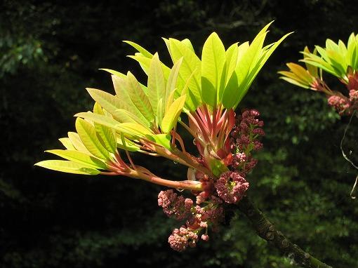 ユズリハの新芽と花