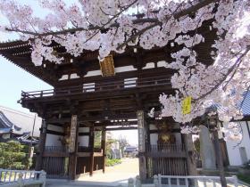 満開の桜3