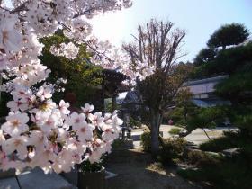 満開の桜4