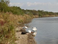 ウトナイ湖 白鳥達