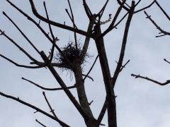 街路樹に鳥の巣