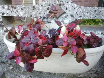 ハツユキ紅葉