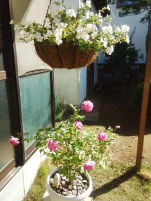 薔薇とバコパ