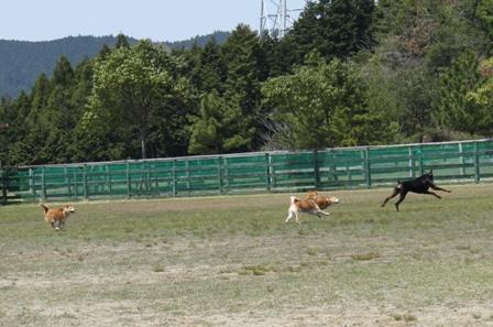 IMG_9906 柴犬