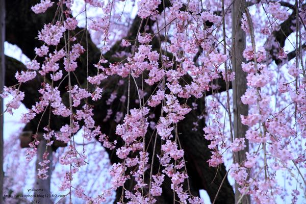 麻績の舞台桜3