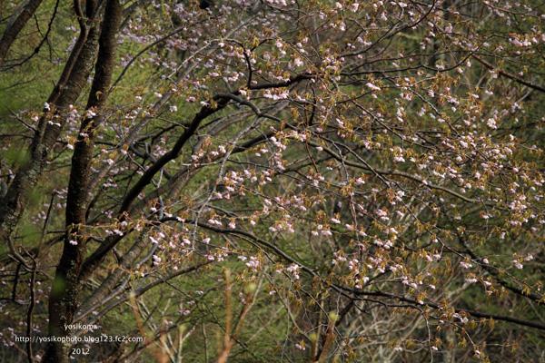 大平山桜6