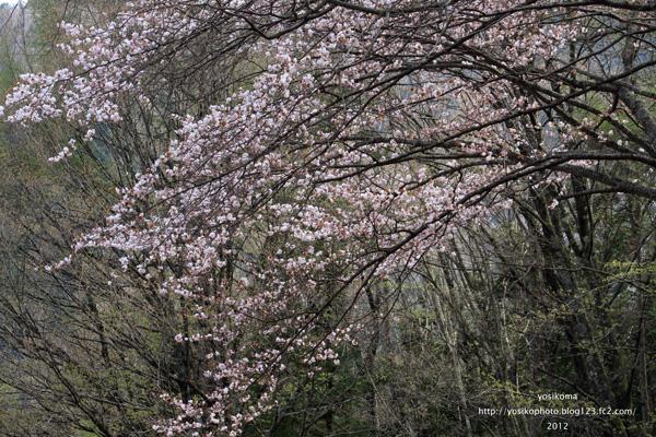 大平山桜4