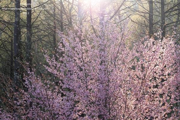 大平山桜5