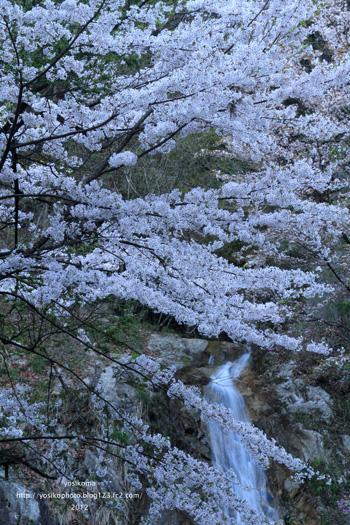 大平山桜3
