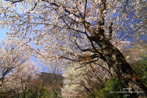 大平山桜2